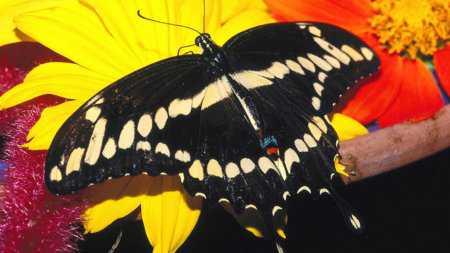 HD Kelebek Wallpaper  Duvar Kağıtları Resimleri